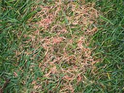 Grass Disease