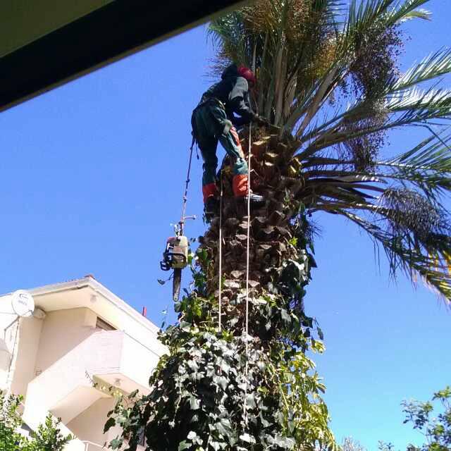 Cutting down a palm tree