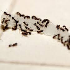 A colony of ants can grow into millions.